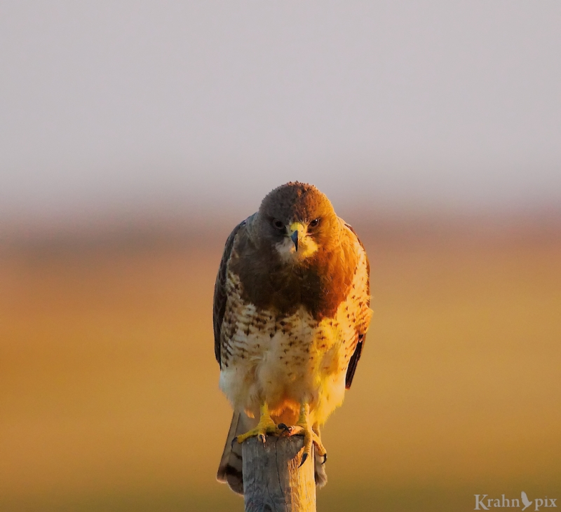 _T6C8316, Swainson's Hawk, Saskatchewan, fence post