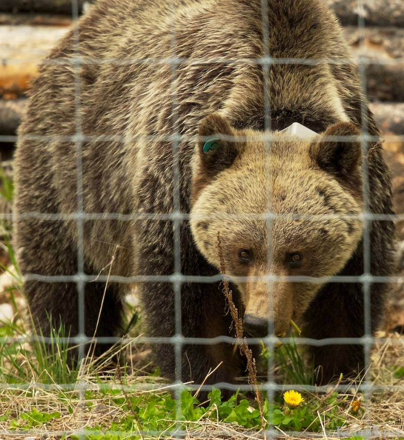 _T6C8740, grizzly, fence,