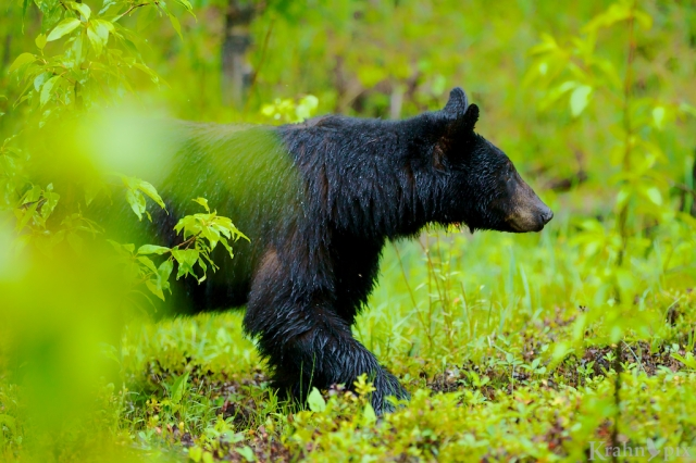 _MG_5739, black bear, forest