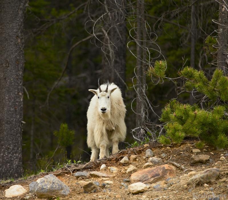 _MG_9141 (1), mountain goat