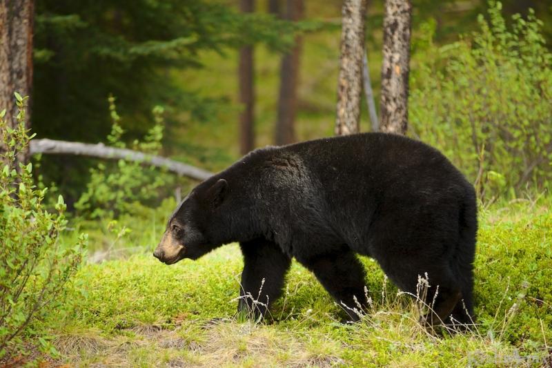 _MG_9956, black bear, Banff National Park