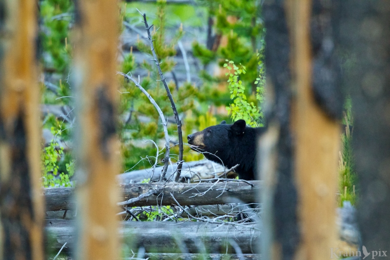 _T6C0169, black bear, trees