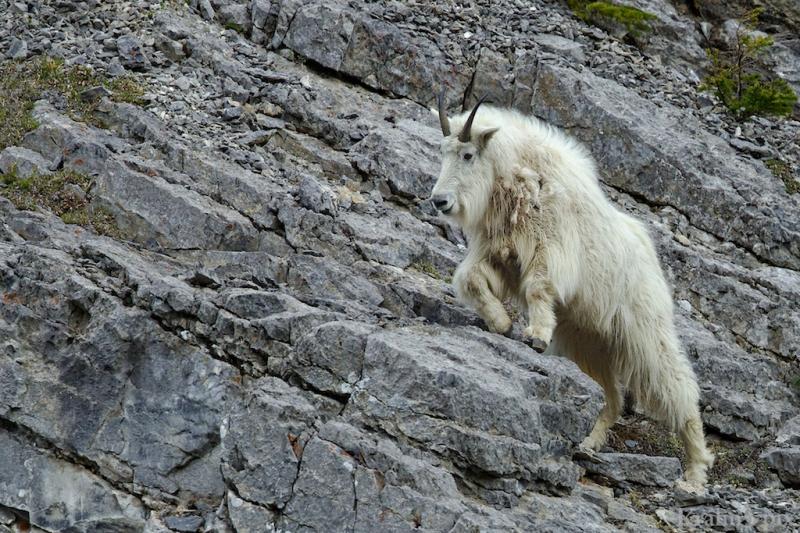 _T6C8902, mountain goat