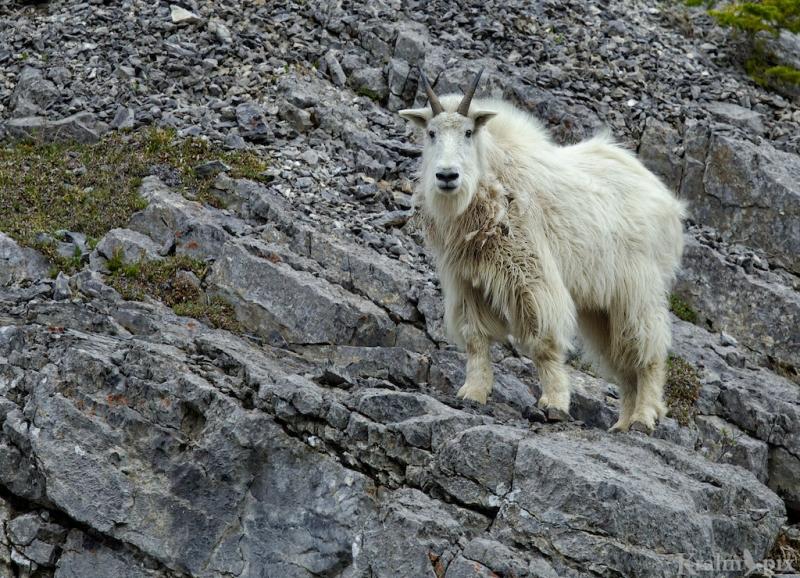 _T6C8945, mountain goat