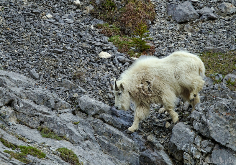 _T6C8957, mountain goat