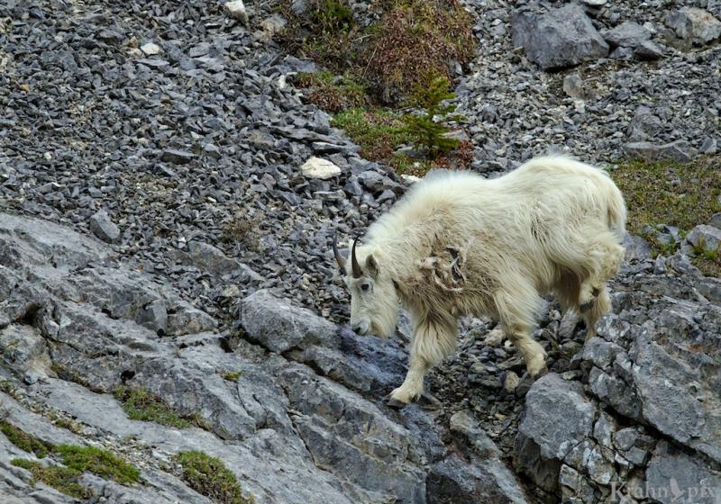 _T6C8957, mountain goat