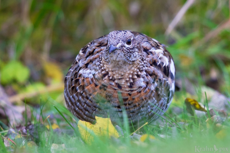 DT6C4883, ruffled grouse
