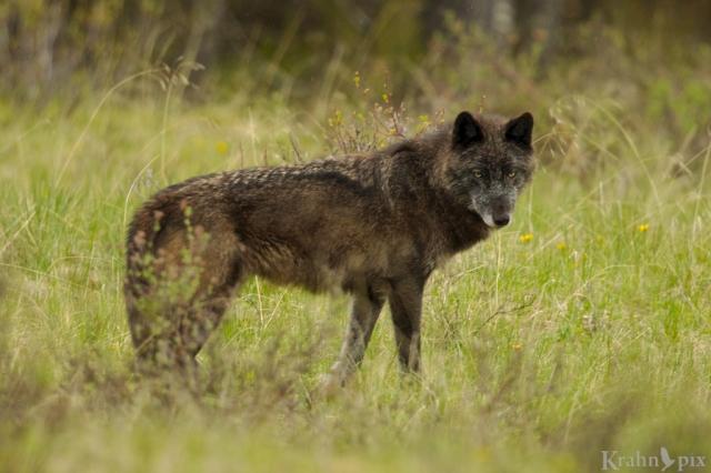 _T6C8457, wolf