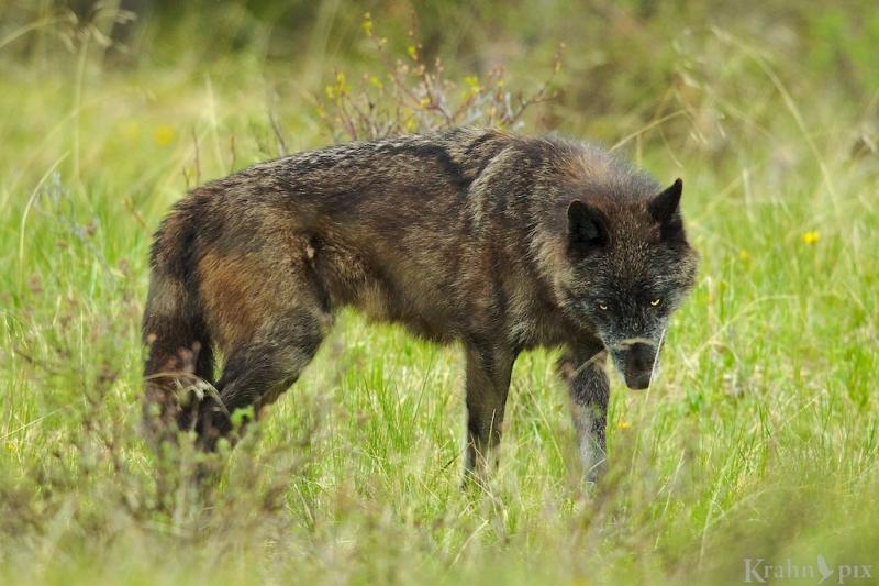 _T6C8458 (1), wolf