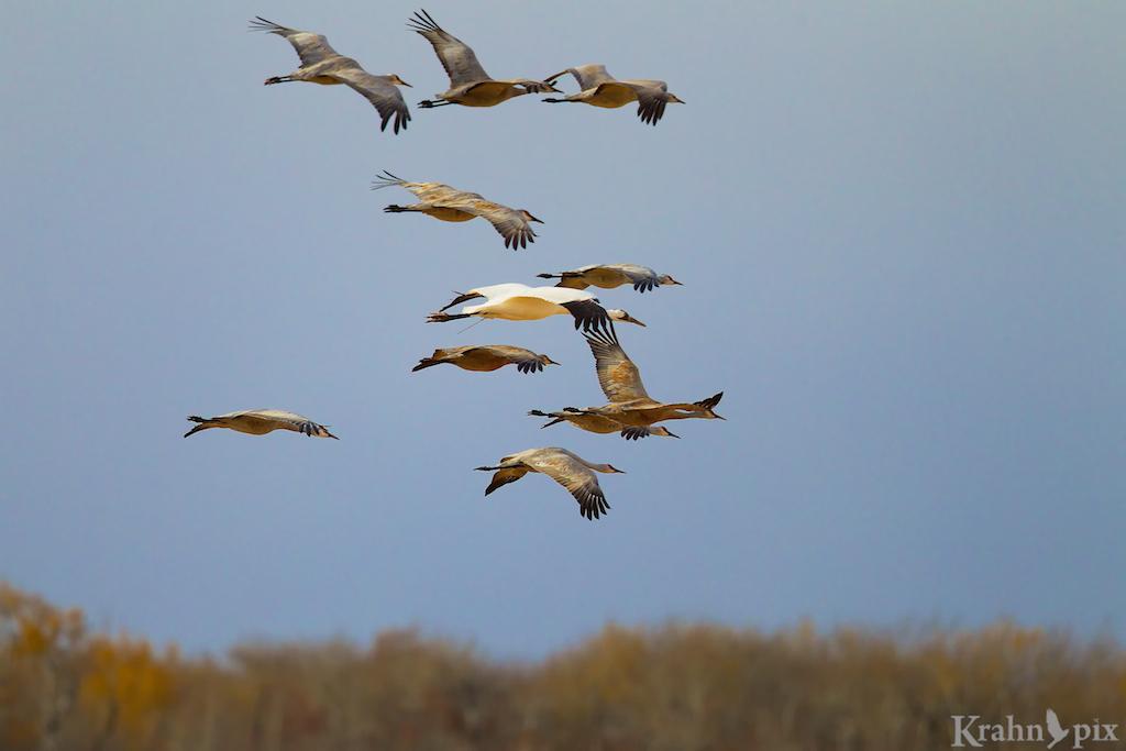 DT6C5448, Whooping Crane, Sandhill Crane, flight
