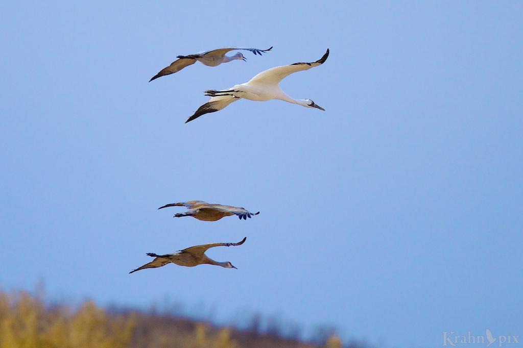 DT6C5453, Whooping Crane, Sandhill Crane, flight