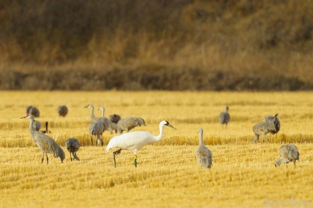 DT6C5469, Whooping Crane, Sandhill Crane, feeding