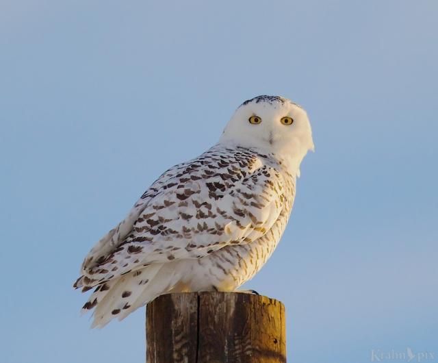 DT6C8709, snowy owl