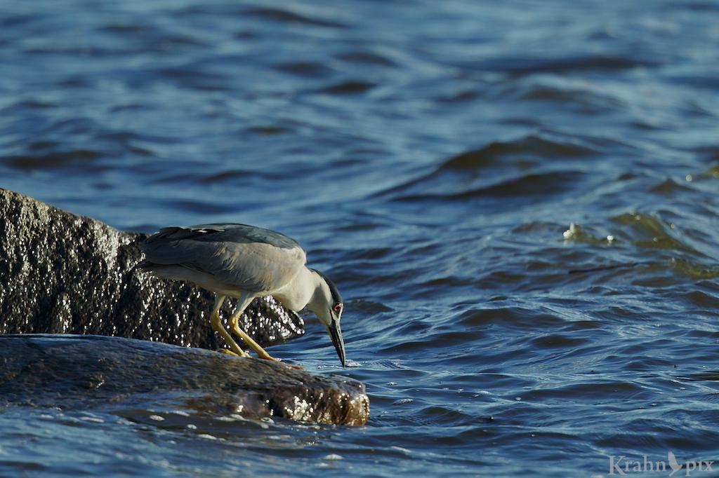 black capped night heron, _T6C1355