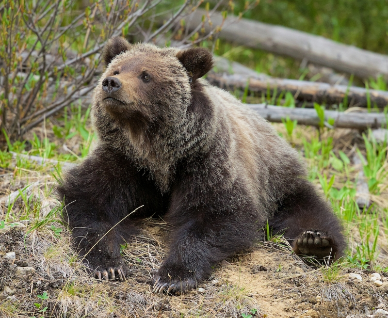 _T6C5909, grizzly