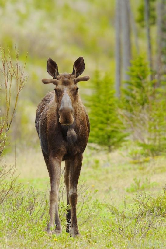 _T6C9116, moose