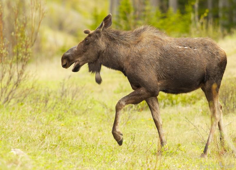 _T6C9189, moose