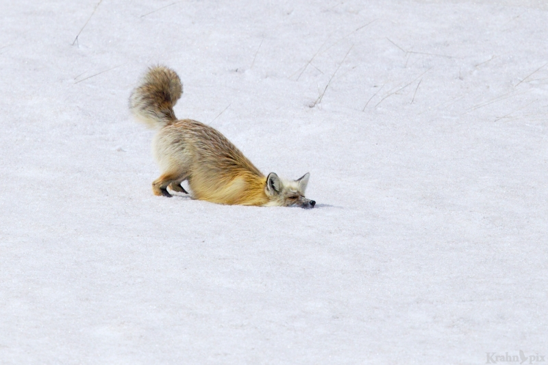 _T6C6885, fox, hunting