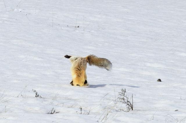 _T6C7378 (1). fox, hunting