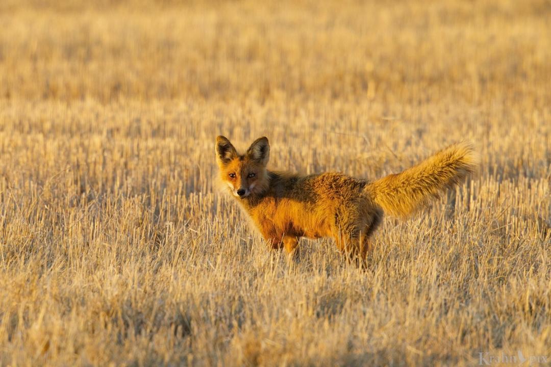 DT6C9326, fox
