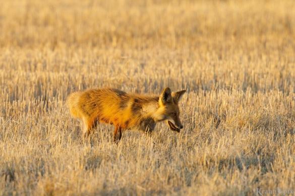 DT6C9332, fox