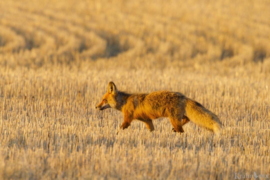 DT6C9343, fox