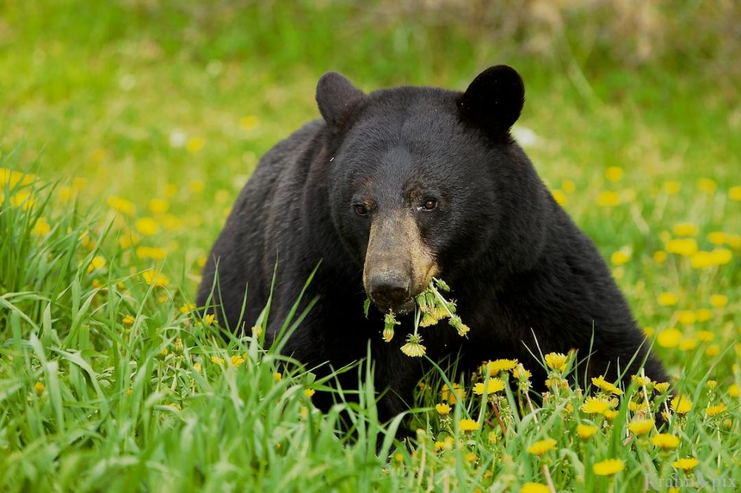 _MG_2826 (1), black bear, Banff, dandelions