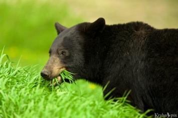 black bear eating _B5A1042