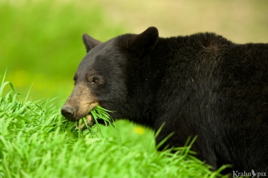 black bear eating _B5A1042