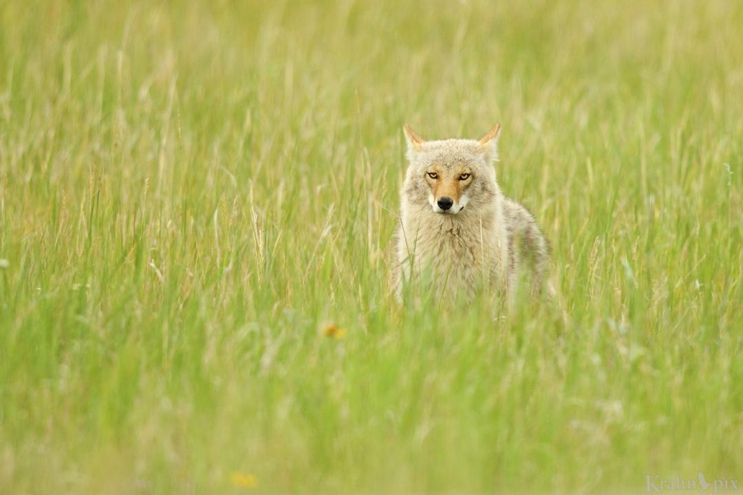 coyote, Jasper, attentive