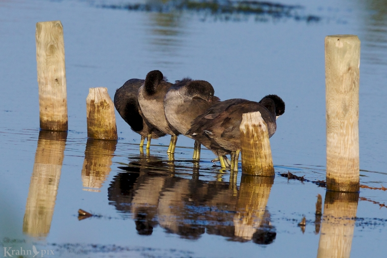 coots on wire.jpg