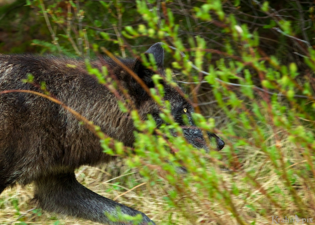 wolf, running, _MG_8676