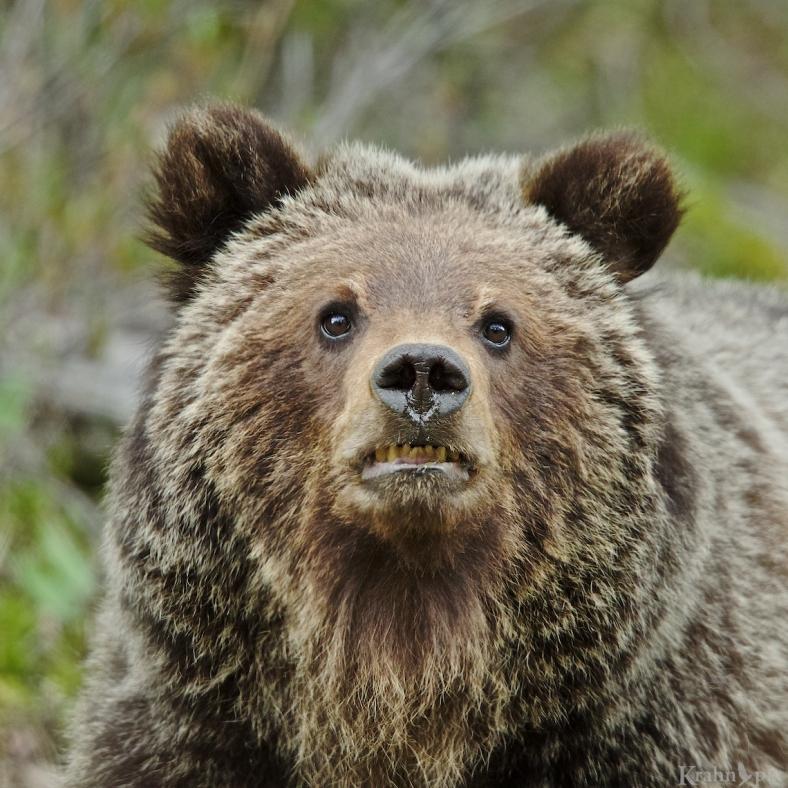 grizzly, bear, cub, _T6C5700 (1)
