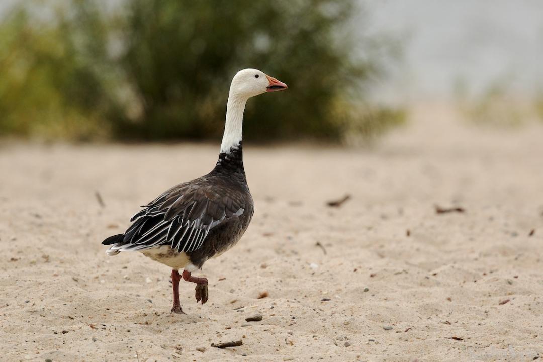 _B5A6253, snow goose