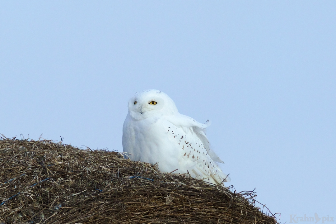 _B5A9018, snowy owl