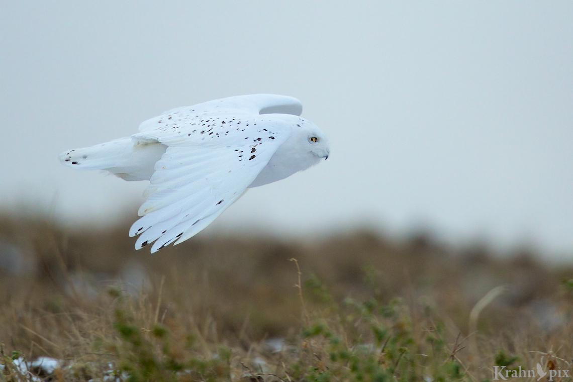 _B5A9153, snowy owl