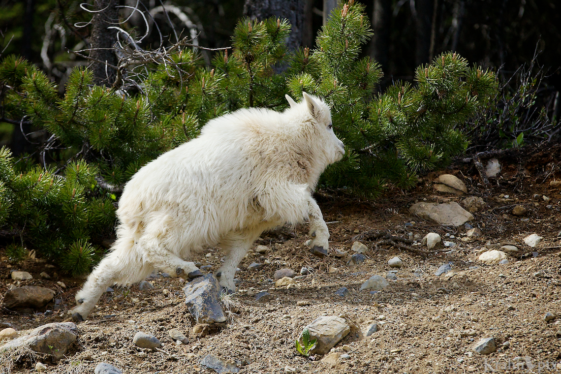 _MG_9152, mountain goat