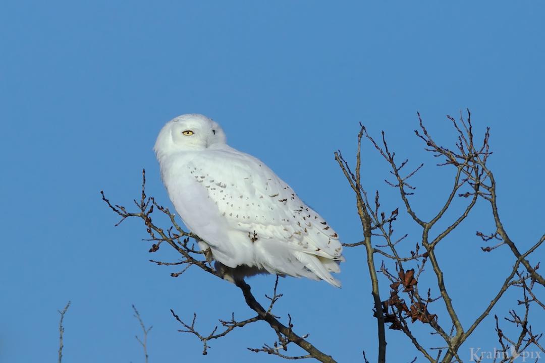 _B5A9192, snowy owl, tree