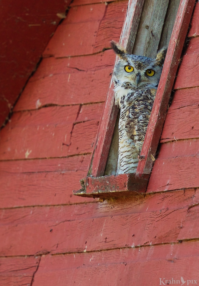 _B5A6626, great horned owl, barn