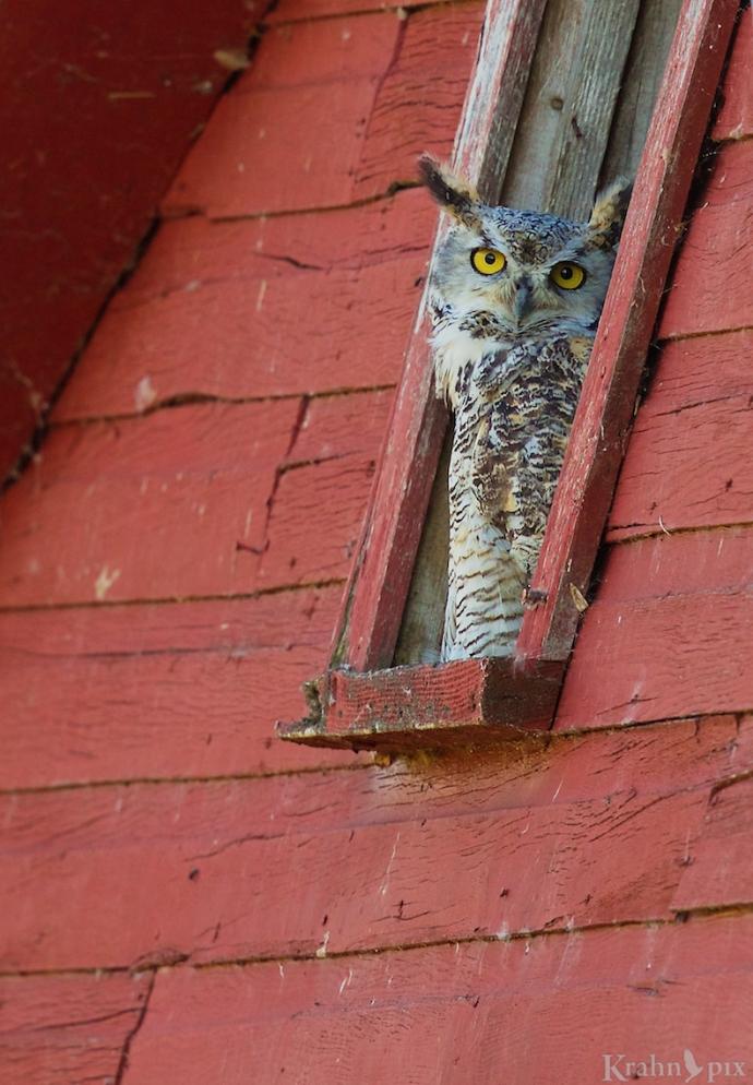 _B5A6626, great horned owl, barn
