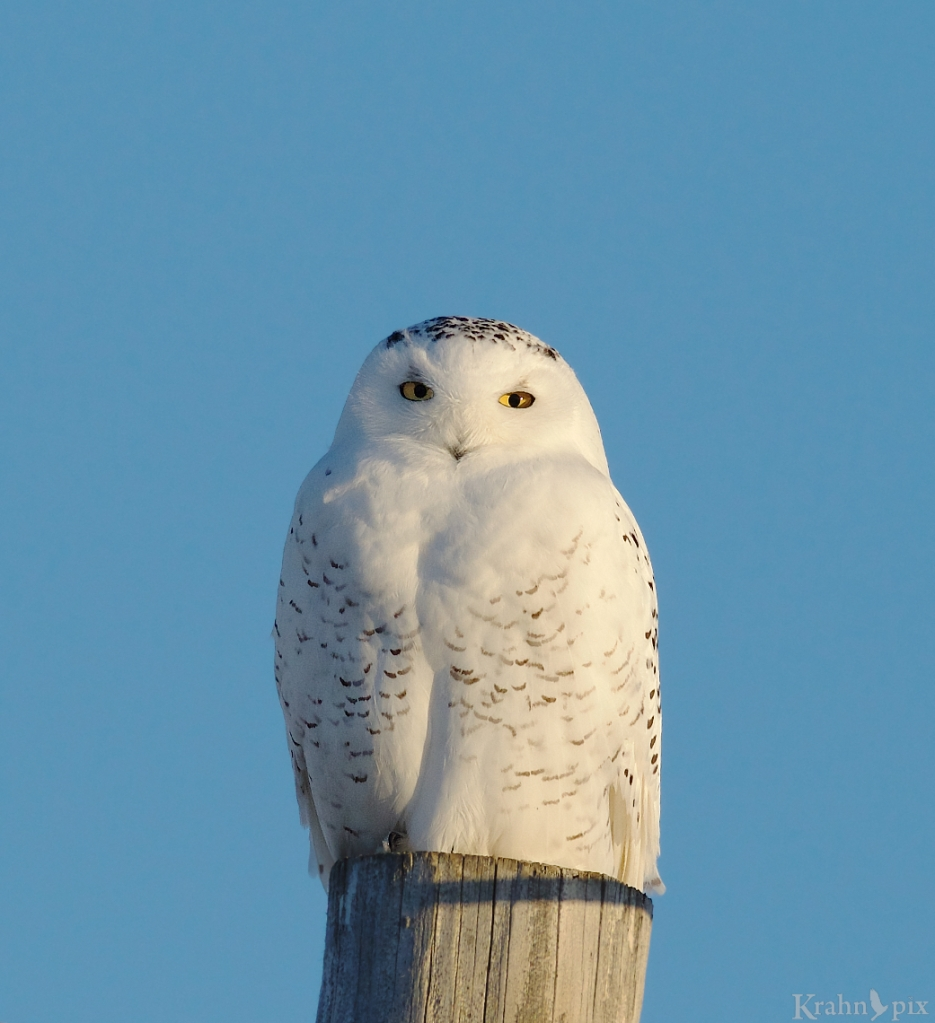 _B5A9441 - Version 2, snowy owl,