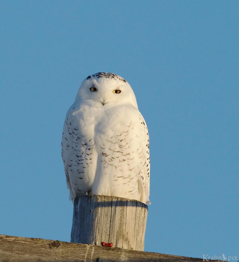 _B5A9441, snowy owl, kill