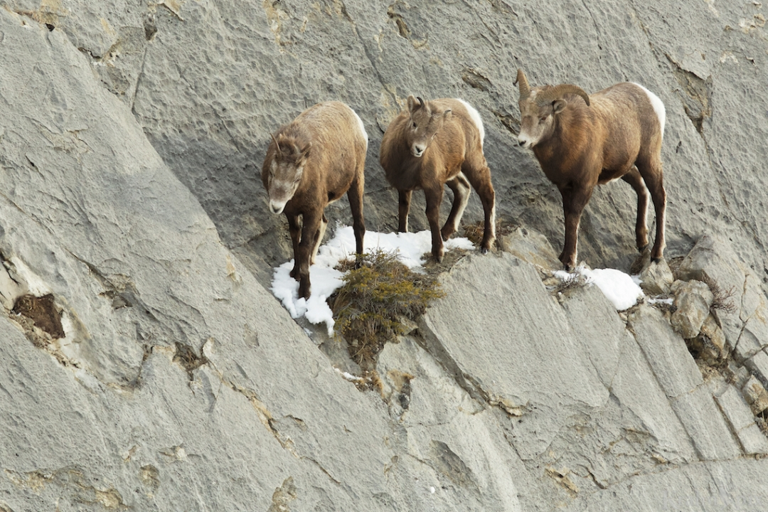 _B5A9853, Big Horn Sheep