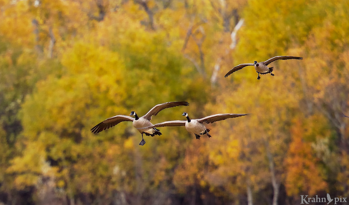 geese, fall colours