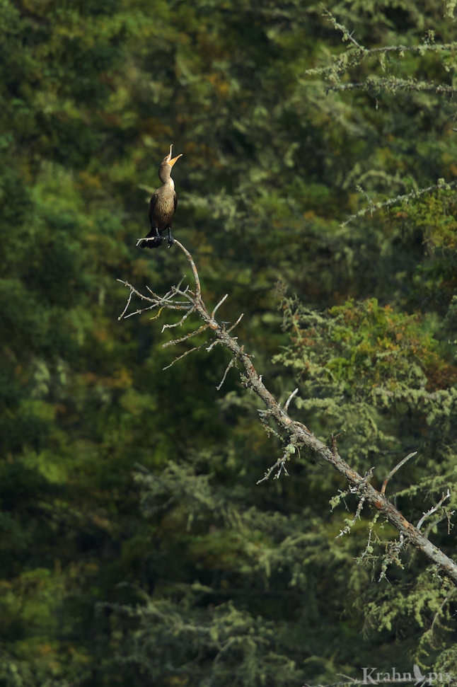 A cormorant belts out a lonely song from across the lake.